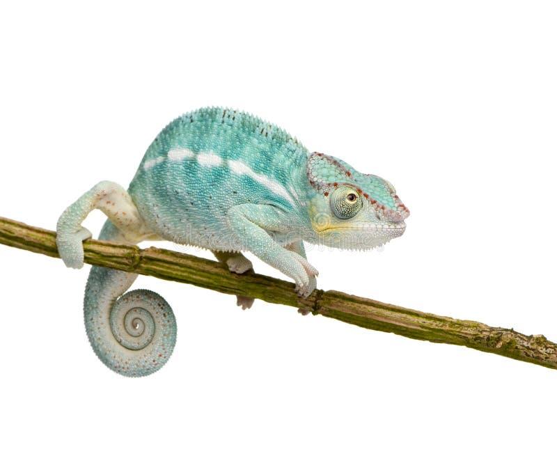 是新变色蜥蜴furcifer香的pardalis 免版税库存图片