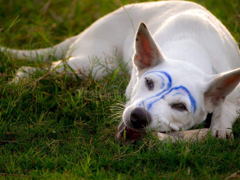 是构成蓝线咬骨头的白色狗 免版税库存图片