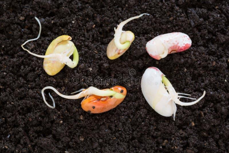 是的顶视图不同发芽在土壤的种子 免版税库存照片