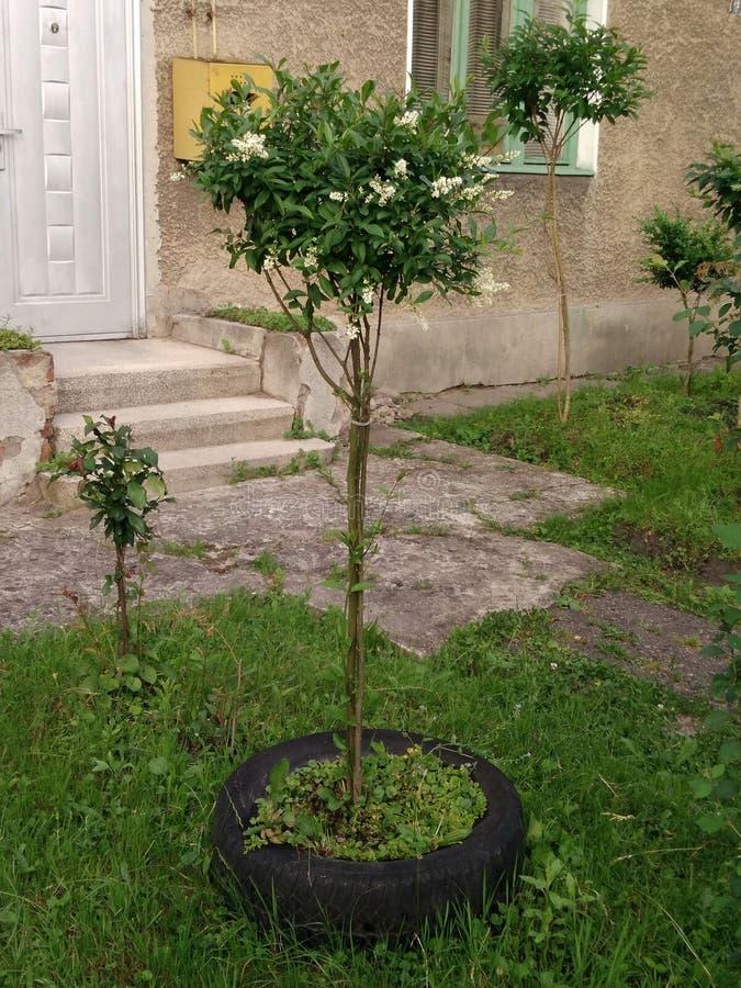 是简单的种植一棵树在房子的庭院里 免版税库存图片