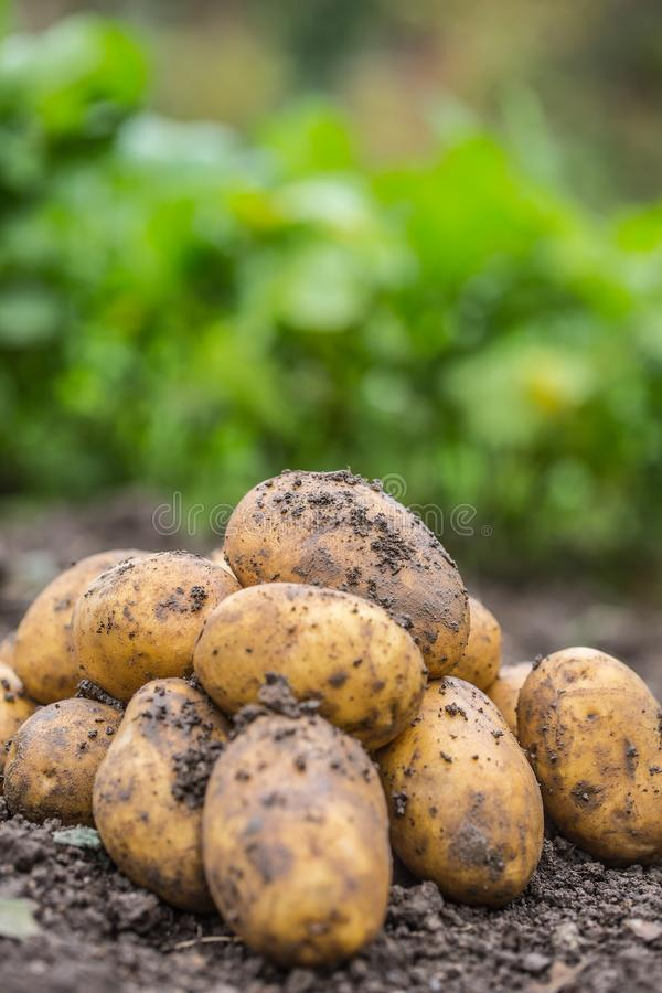 是自由说谎在土壤的新鲜的土豆 图库摄影