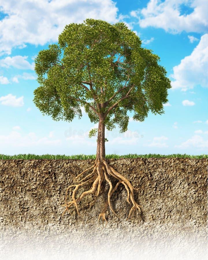 显示与它的根的土壤的横断面一棵树。 库存图片