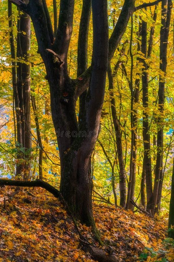 显示与colo的平静的秋天风景一棵壮观的老树 免版税库存图片