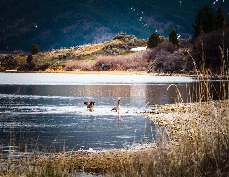 显示为它的鹅是岸的伙伴 库存照片