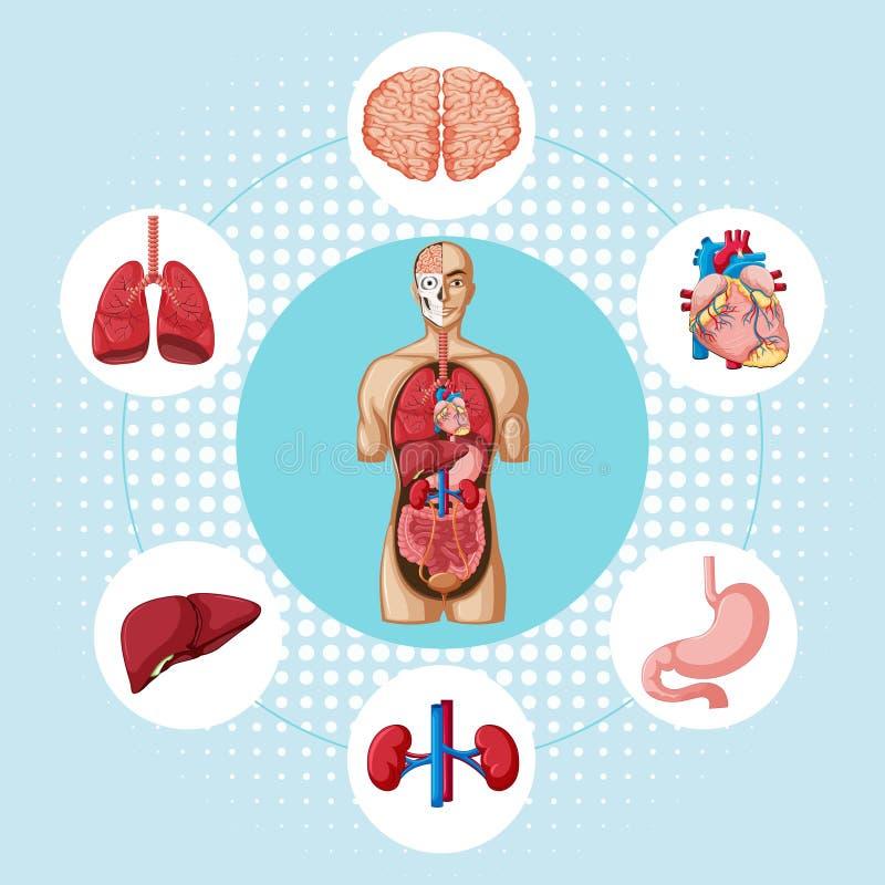 显示人的不同的器官图 向量例证