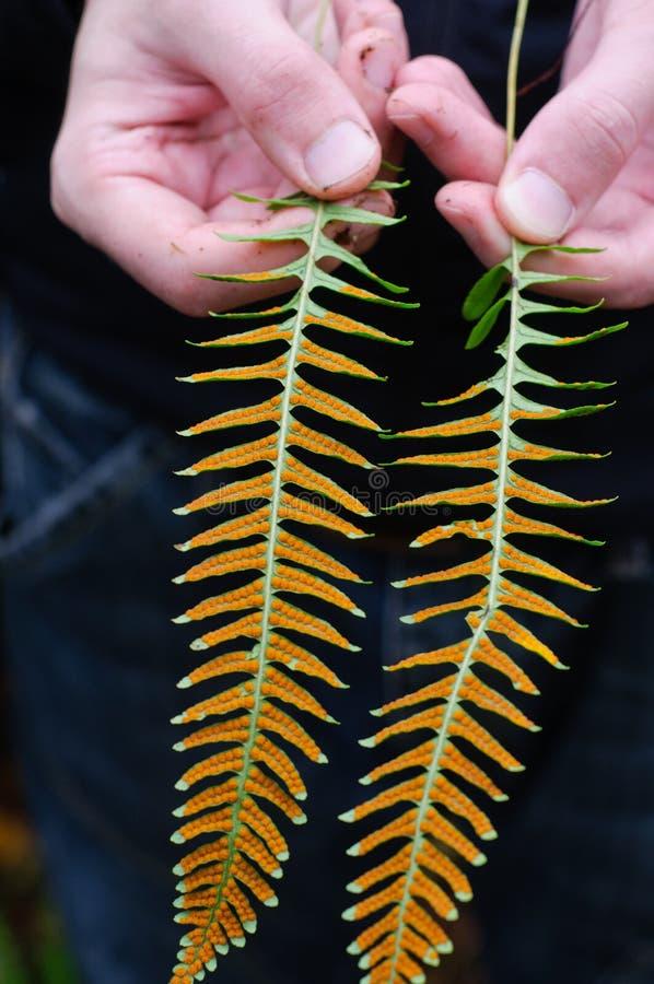 显示公用水龙骨属植物的现有量 库存照片