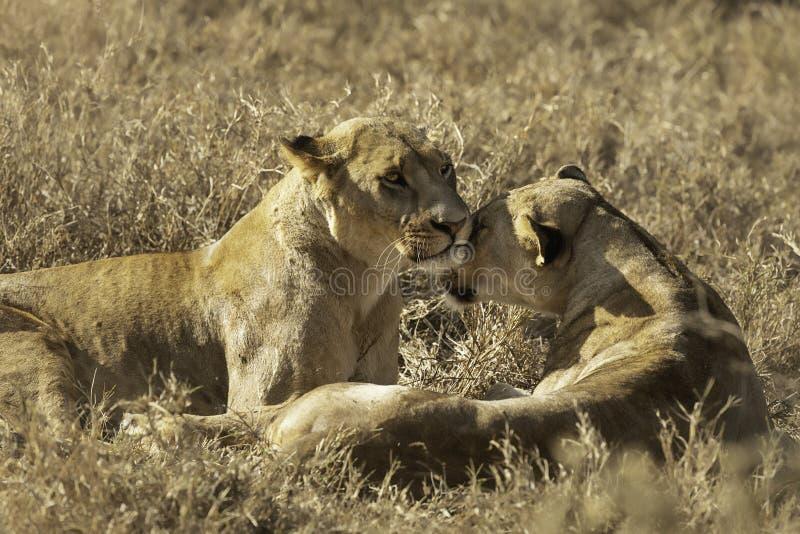 显示喜爱的2只雌狮 免版税库存图片