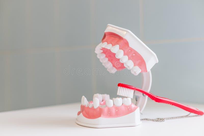 显示在下颌模型如何适当地清洗牙与牙刷和权利 在软和亭亭玉立的刺毛的示范 库存照片