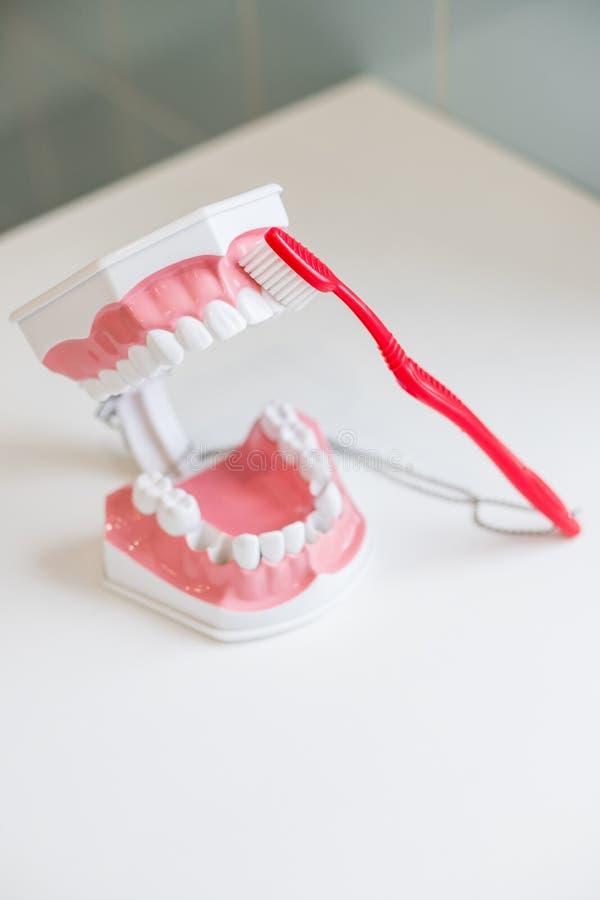 显示在下颌模型如何适当地清洗牙与牙刷和权利 在软和亭亭玉立的刺毛的示范 图库摄影