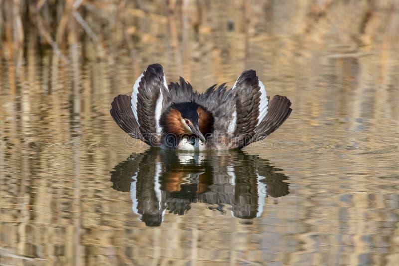 显示在养殖的男性伟大的有顶饰格里布Podiceps cristatus全身羽毛在联接的仪式期间 库存照片
