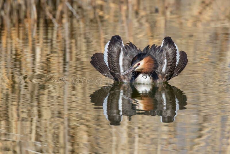 显示在养殖的男性伟大的有顶饰格里布Podiceps cristatus全身羽毛在联接的仪式期间 免版税库存图片