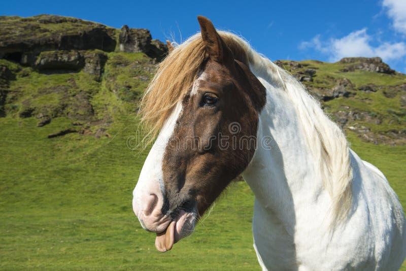 显示在绿色草甸的滑稽的冰岛马舌头 免版税库存图片