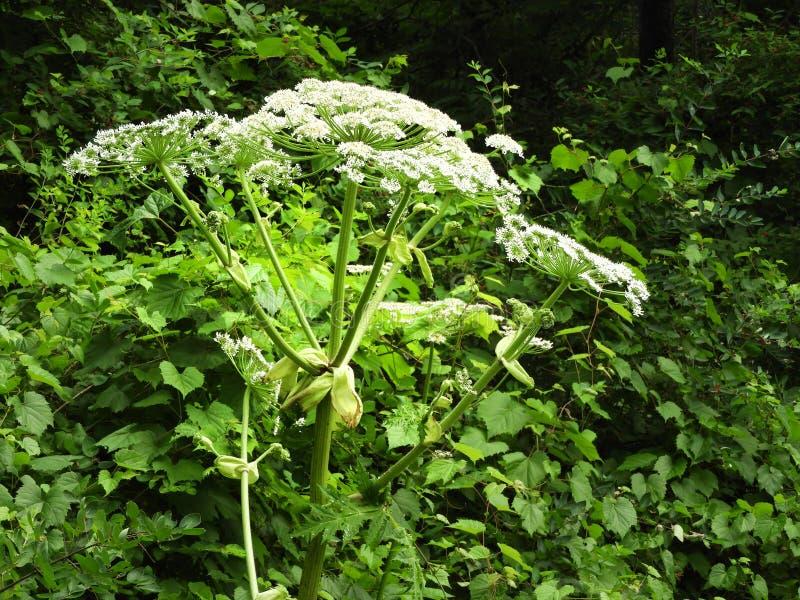显示头状花序的野生毒性巨人Hogweed植物 库存照片