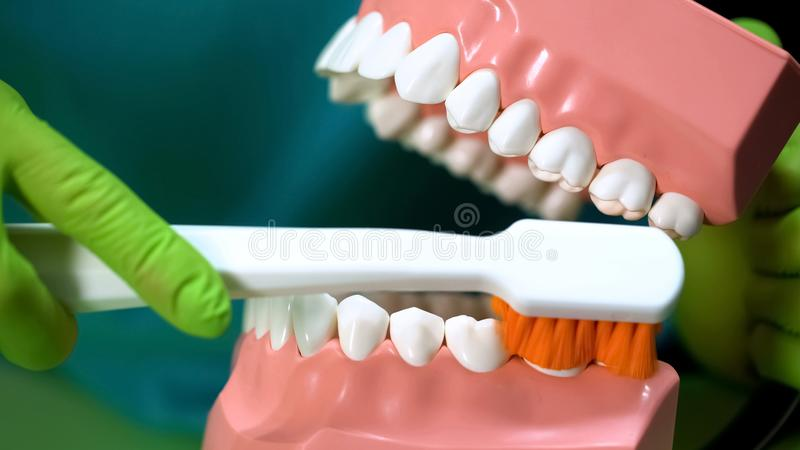 显示如何的牙医清洗牙与下颌模型和牙刷,牙齿保护 免版税库存图片
