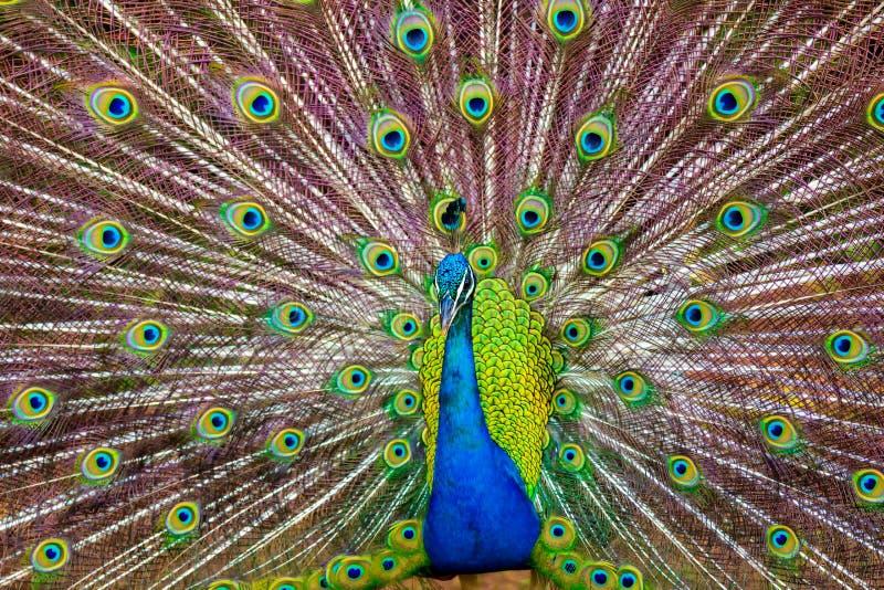 显示它五颜六色的羽毛的孔雀在考艾岛,夏威夷 免版税库存图片