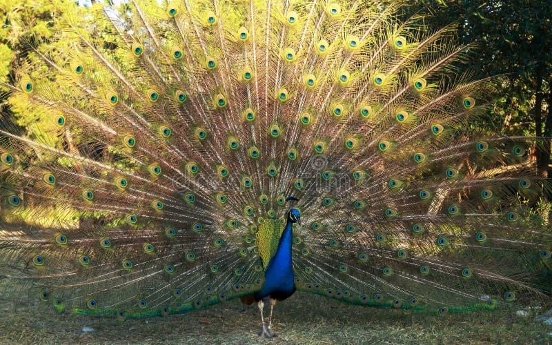 显示它的全身羽毛的美丽的孔雀在奥斯汀,得克萨斯 库存照片