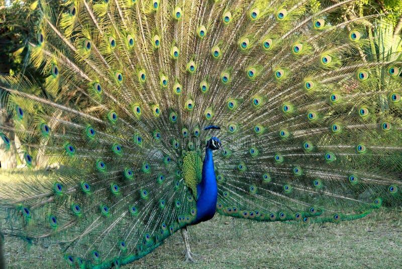 显示它的全身羽毛的美丽的孔雀在奥斯汀,得克萨斯 免版税库存照片