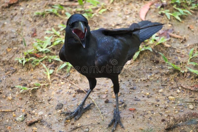 显示它的大红色嘴,这只傲慢,开放钩形的黑乌鸦,查寻食物,在湿严重地地面 库存图片