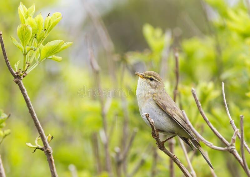 显示它的疆土的杨柳鸣鸟Phylloscopus trochilus通过唱响在分支 在与地方教育局的鲜绿色的背景中 免版税库存图片