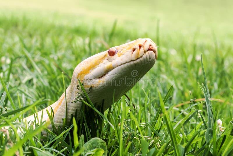 显示它的白变种缅甸Python是在草,特写镜头的舌头 库存照片