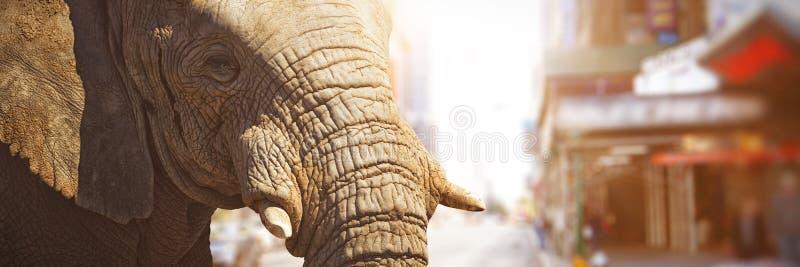 显示它的象牙的大象特写镜头的综合图象 免版税库存照片