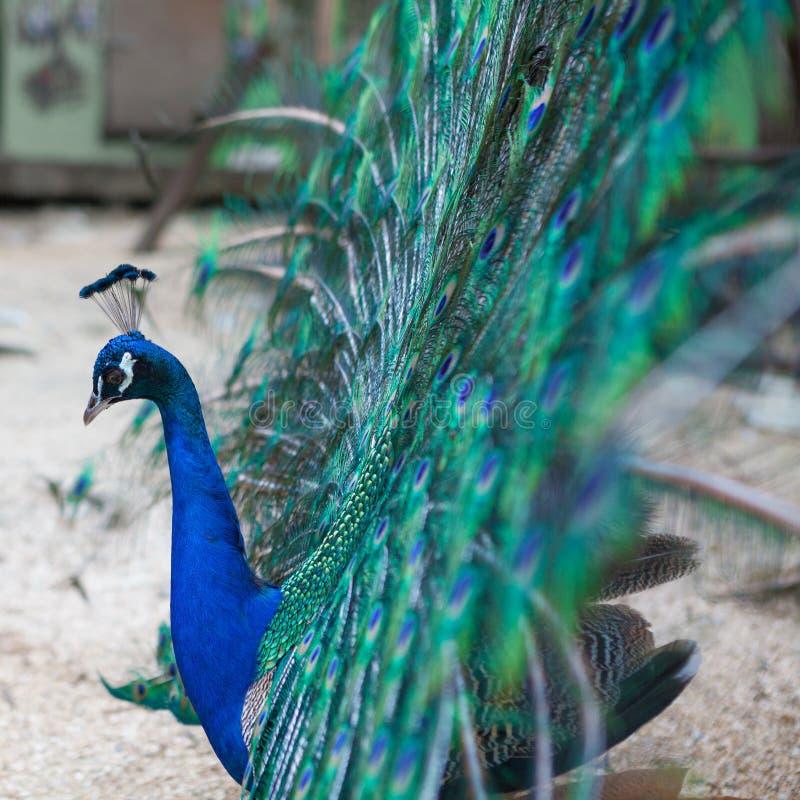 显示它美丽的尾羽的美丽的孔雀 免版税库存图片