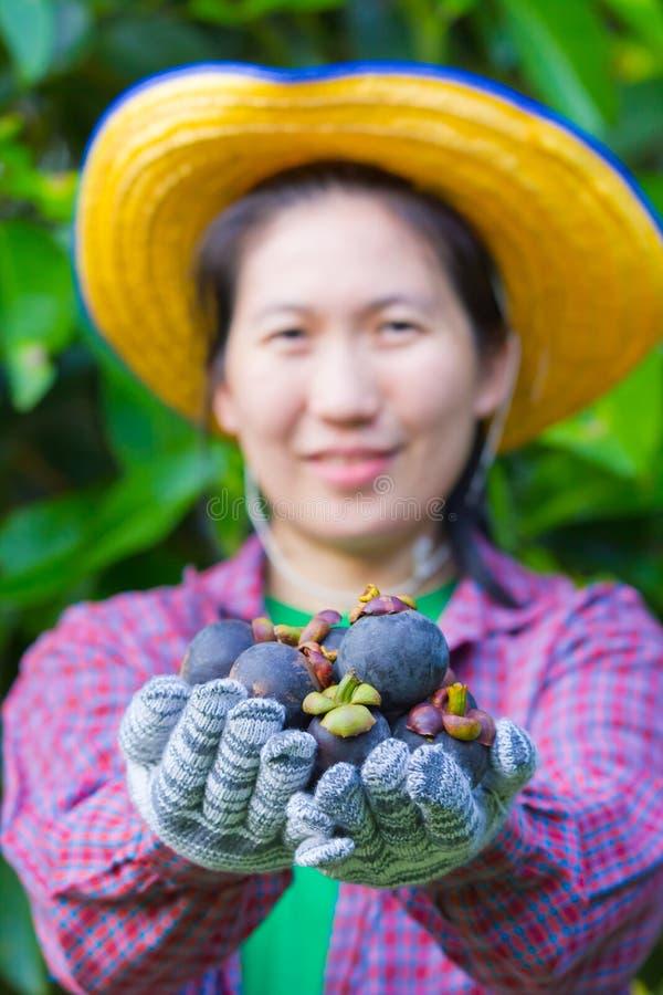 显示山竹果树的女性农业学家手 免版税库存照片