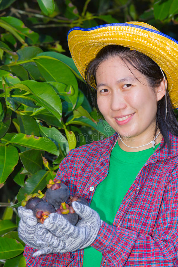 显示山竹果树的女性农业学家手 免版税库存图片