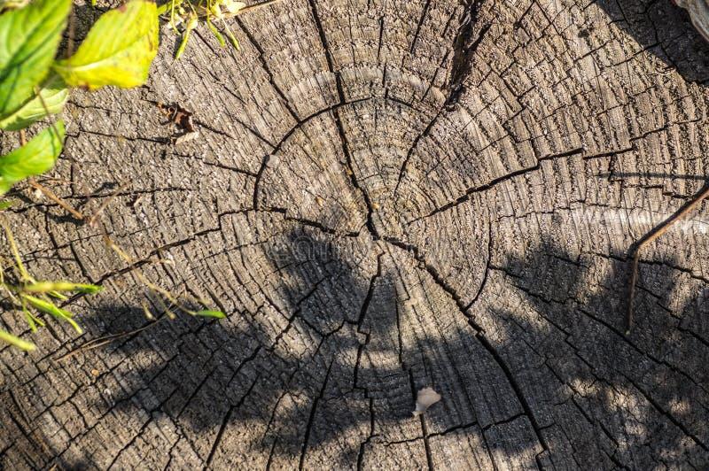 显示年轮,宏观射击,关闭的树干的横断面  免版税库存图片