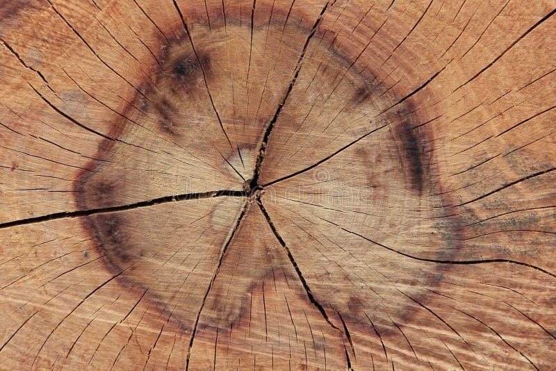 显示树干的交叉年轮部分 免版税库存图片