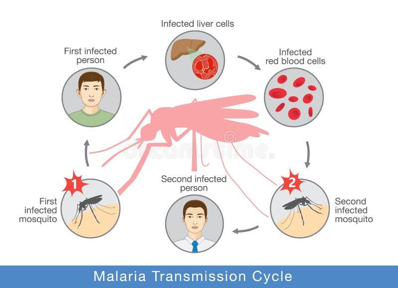 显示疟疾传输周期的例证 库存例证