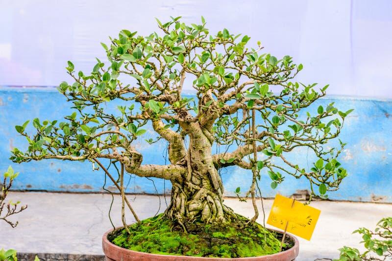 显示的绿色榕树盆景在花盆 无花果常青落叶种类,灌木藤热带类与 库存照片