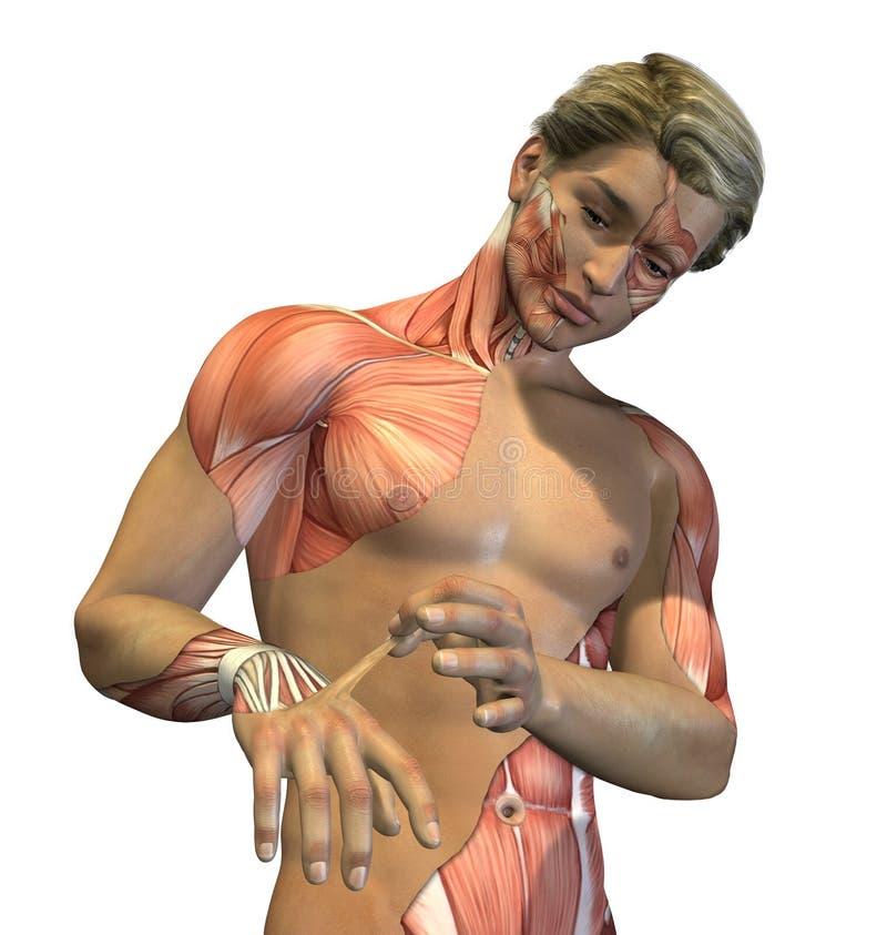 显示的解剖学 库存例证