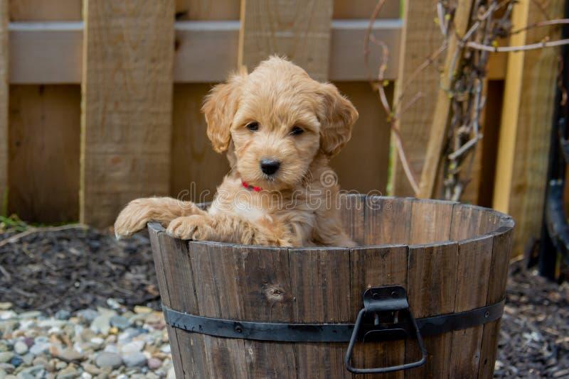 显示聪明的微型Goldendoodle小狗 免版税库存图片