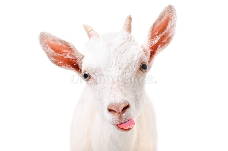 显示舌头的一只滑稽的山羊的画象 免版税库存照片