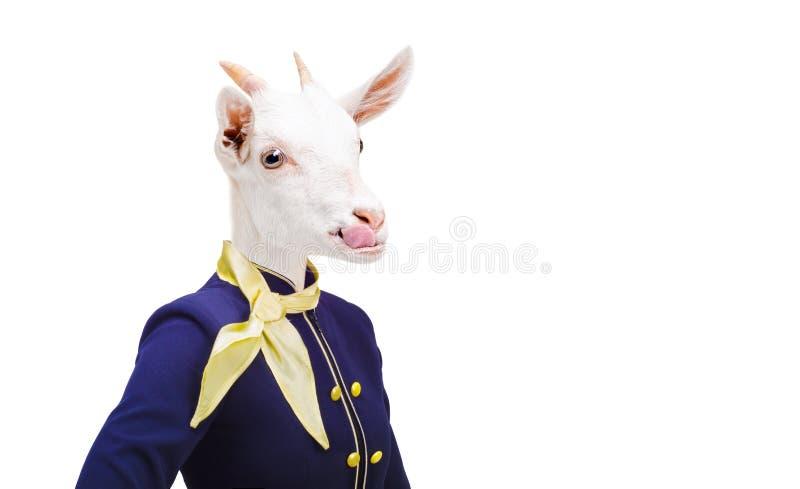 显示舌头的画象山羊在服装空中小姐 库存图片