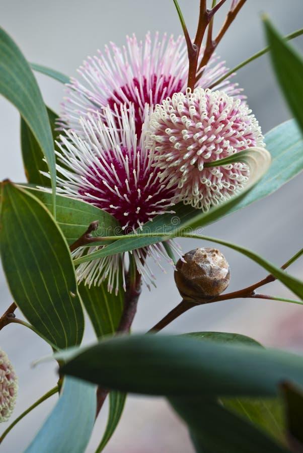 显示花和芽的哈克木属植物laurina 库存照片