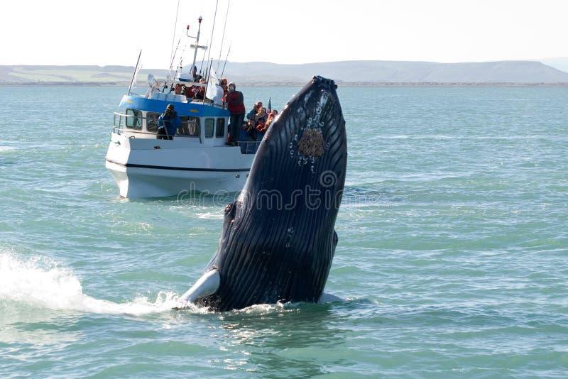 显示鲸鱼 图库摄影
