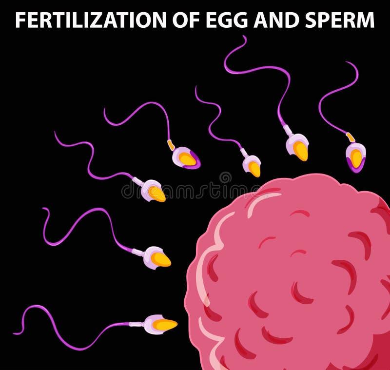显示鸡蛋和精液的受精的图 库存例证