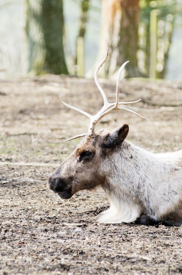 驯鹿外形 免版税库存照片
