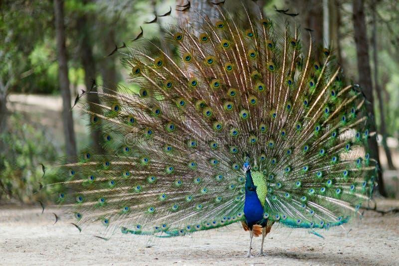 显示他的全身羽毛的孔雀 免版税库存照片
