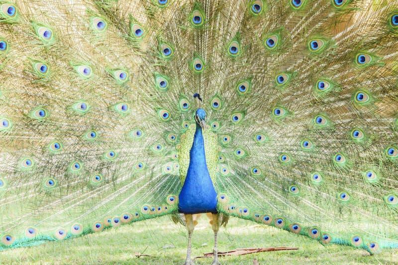 显示他美丽的爱好者的美丽的孔雀 免版税库存图片