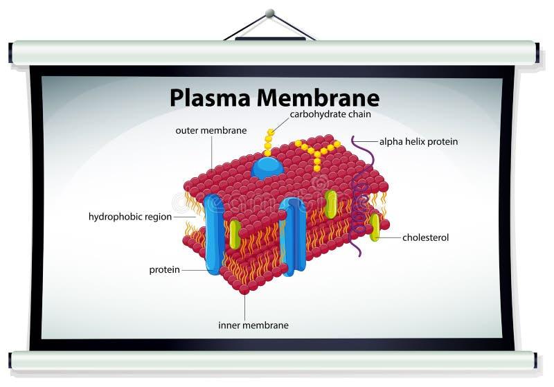显示质膜的图 皇族释放例证