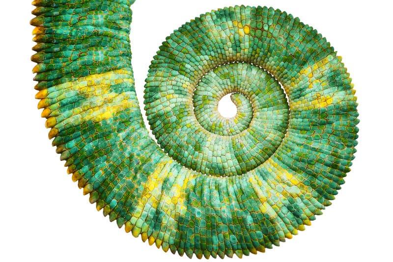 显露数学斐波那奇螺旋曲线的一条美丽的绿色五颜六色的chamaeleo calyptratus尾巴的接近的看法 库存图片