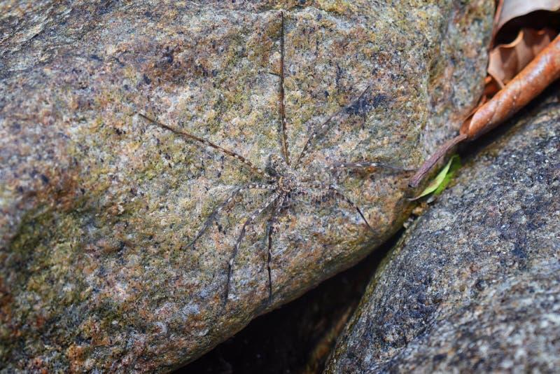 晃动蜘蛛保持平衡的和在岩石伪装的狩猎牺牲者由河, El的伊甸园,宏指令的,在我的详细的看法巴亚尔塔港密林 免版税库存图片
