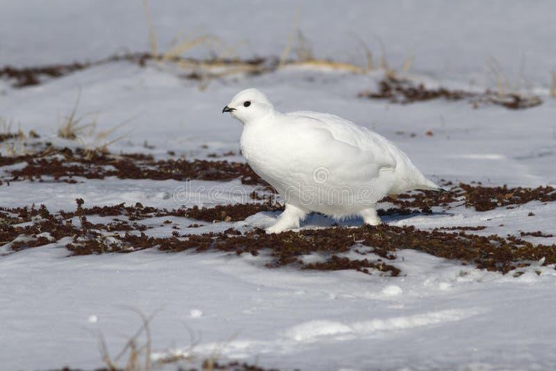 晃动雷鸟女性走沿小的积雪的spri 免版税库存照片