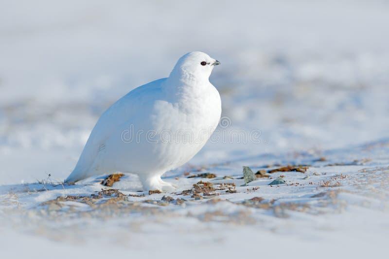 晃动雷鸟,雷鸟属mutus,白色鸟坐雪,挪威 冷的冬天,在欧洲北部 在雪的野生生物场面 白色bir 免版税库存照片