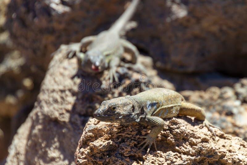 晒日光浴在登上泰德峰的特内里费岛蜥蜴 库存图片