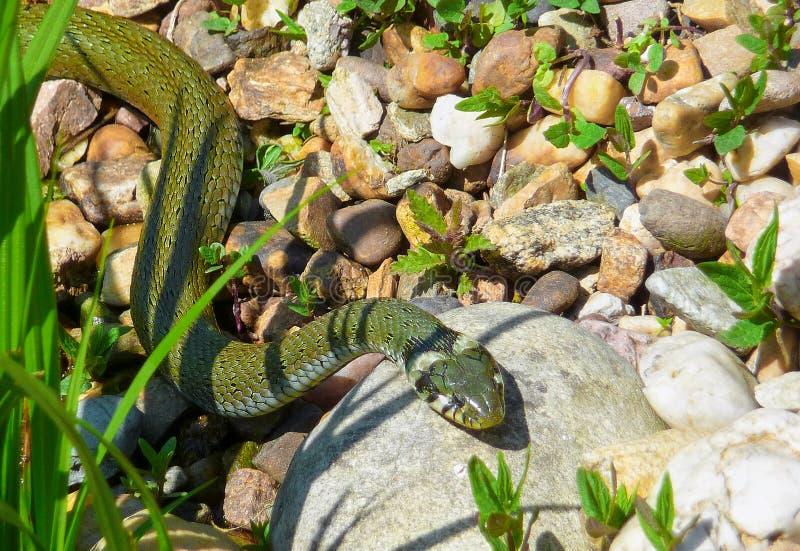 晒日光浴在石头的草蛇natrix在庭院里 库存照片