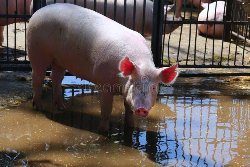 晒日光浴在金属篱芭晴朗的夏令时后的阵雨以后的猪母猪 库存图片